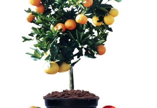 Arts Graft The Splendor Of The Fruit Salad Tree 2ser